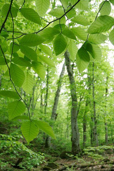 ブナの若葉とブナの森林 花ざかりの森 より