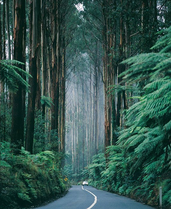 A car is dwarfed by huge trees, The Black Spur Drive - Victoria, Australia
