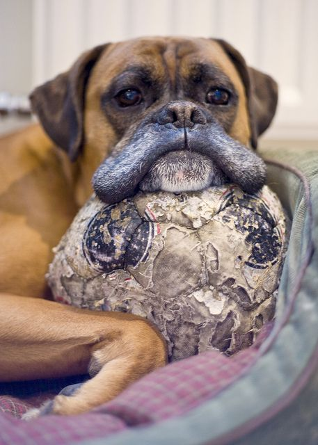 Sweet, old boxer pup loves his soccer ball.