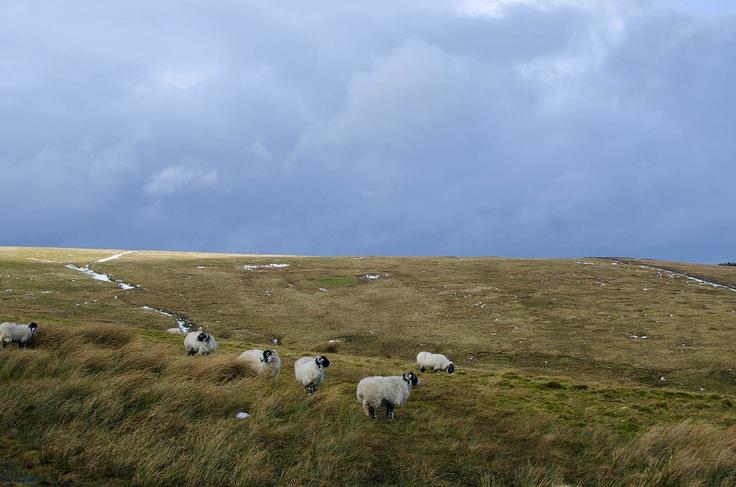 Sheep, North Pennines, England