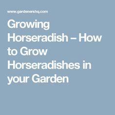 Growing Horseradish – How to Grow Horseradishes in your Garden