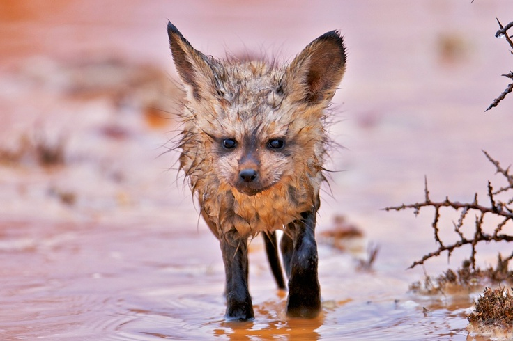 As we left the Northern Cape, we were treated to this farewell...  We found these Bat Eared Fox cubs waiting for the recent rainstorm to drain out of their burrow, and looking highly unimpressed at being cold and wet!  For more pics, check out http://nightjar.travel/BatFox    - Nightjar Travel Blogs