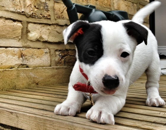 Cute Spot!Jack Russells, Jack Russell Puppies, Animal Kingdom, Baby Animal, Puppies Love, Baby Dogs, Cutest Puppies, Puppy'S, Puppies Instagram
