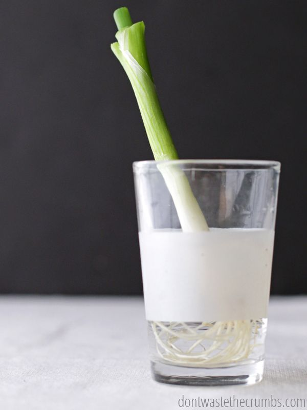 Amazing budget tip to regrow food in water! Save money on organic foods by regrowing more from scraps! :: DontWastetheCrumbs.com