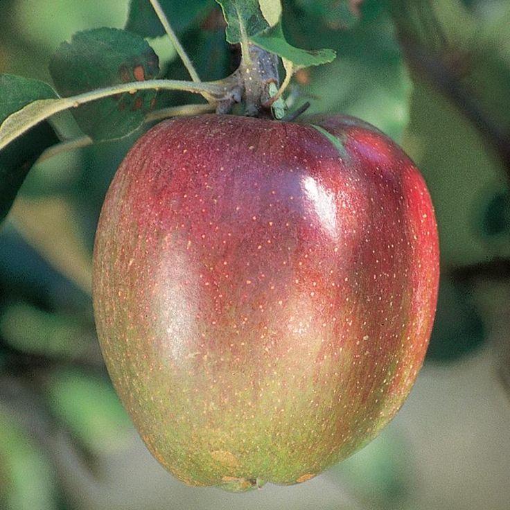 Nice Sheepnose Apple