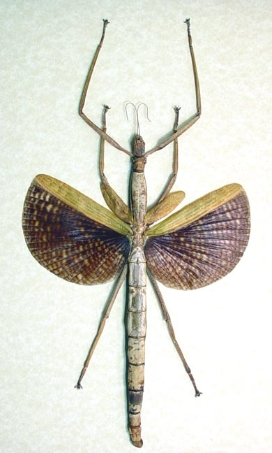 Phasmatidae Species Giant Winged Walking Stick InsectFrom Malaysia