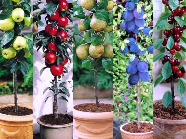 Pomii fructiferi columnari – mica livadă de acasă | CasaMea.ro
