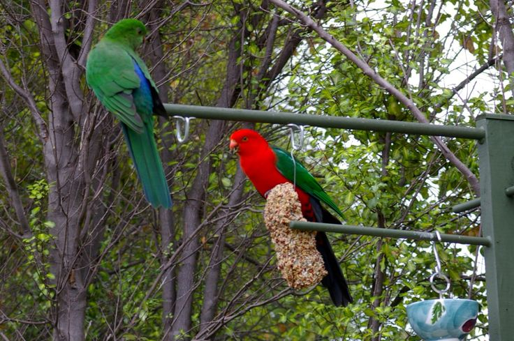 Visitors to my garden 5. King parrots on the bird feeder. Stunning!