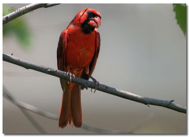 https://flic.kr/p/24iECuE   Northern Cardinal (Male)