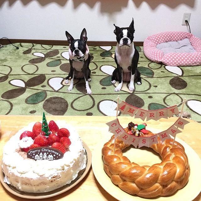 おはようございます☀️ まいにち寒いね〜⛄️ ちょっと家あけてると、部屋の中15度とか!パパときのうも札幌と同じ気温でも寒さが違うねーって話してたとこ😂  おとついはうめママと、パン教室🍞 今回すごい楽しみだった編み編みパン! ブレットリース❤️ クリスマスケーキも一緒だよー🎄 パンにすこし家で切ったり貼ったりして、かざりつけしてみましたぁ🎅 もうクリスマスケーキいらないくらい! いちごたっぷりゴージャスな感じ🍓 ピーチェもクリームついてないところ、いただきましたぁ🐶🐶💕 パパも今回は出張なくて、おいしい!おいしい❗️って言って食べてたよ〜😊 それにしてもピーチェの表情(*´◒`*) パチパチ撮りすぎてチーン📸 ★161213pic★  #ボストンテリア #bostonterrier  #ピーチェ姉妹 #peache #姉妹 #愛犬 #犬 #リースパン #パン #ブレットリース #パン教室 #ケーキ #手づくり #パンだいすき #クリスマスケーキ #手づくりケーキ  #うめママ今回もありがとうございましたぁ😘 #白黒パン倶楽部