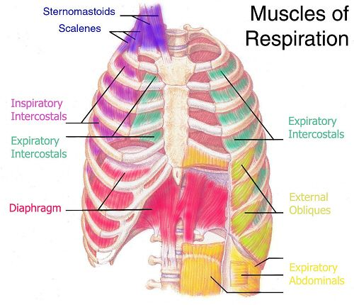 Anatomy for massage therapists
