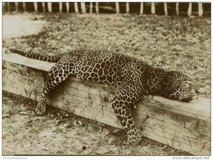 صور لاخر نمر الاطلس اسم العلمى النمر البربري Lizard Funny Tweets Animals