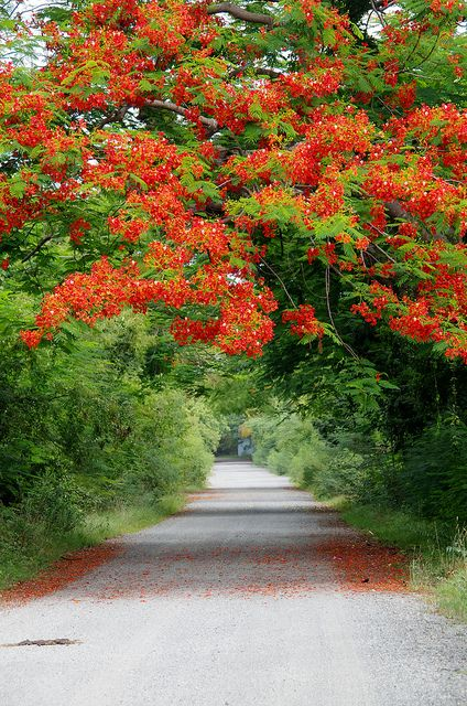 Flamboyant Tree - Vieques - Puerto Rico by sarowen, via Flickr