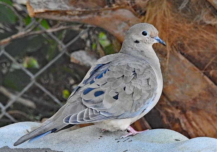 Mourning Dove. Original Design 5 x 7 Folded Note Card. Printed With a Premium Matte Finish. Interior is Blank For Your Special Note. by VintageArtForLiving on Etsy https://www.etsy.com/listing/586813541/mourning-dove-original-design-5-x-7