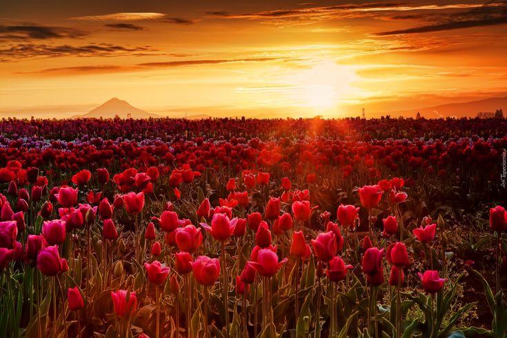Zachód słońca, Promienie, Mgła, Tulipany
