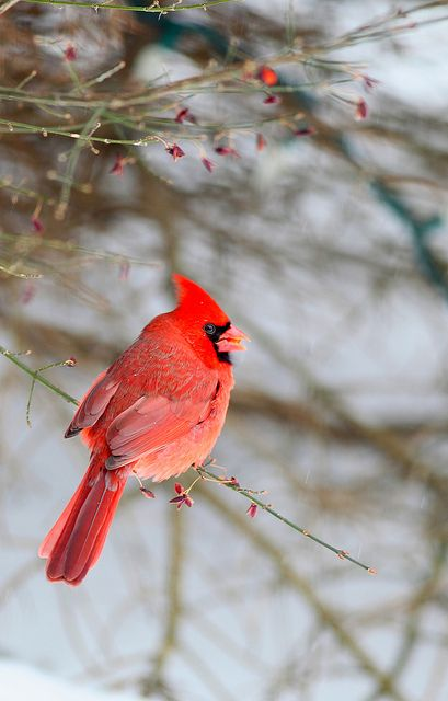 Cardinal. I love seeing the cardinals at my bird feeder in ...
