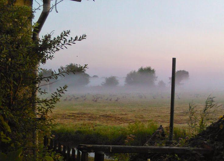 Kwadijk. Ganzen in de mist. Je ziet ze bijna niet, maar je HOORT ZE WEL. Dat gaat de hele nacht door, wel gezellig hoor.