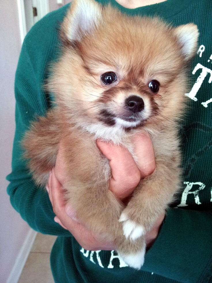 My adorable baby Pomeranian, 10 wks old