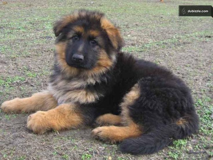 long haired german shepherd mix puppies - Google Search ...