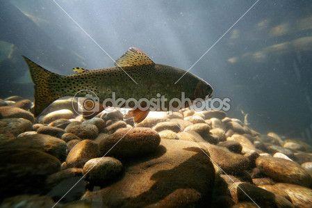Peixe truta nadando — Imagem de Stock #53619299