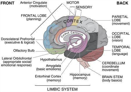 Your Brain and What It Does  A diagram of how the brain works