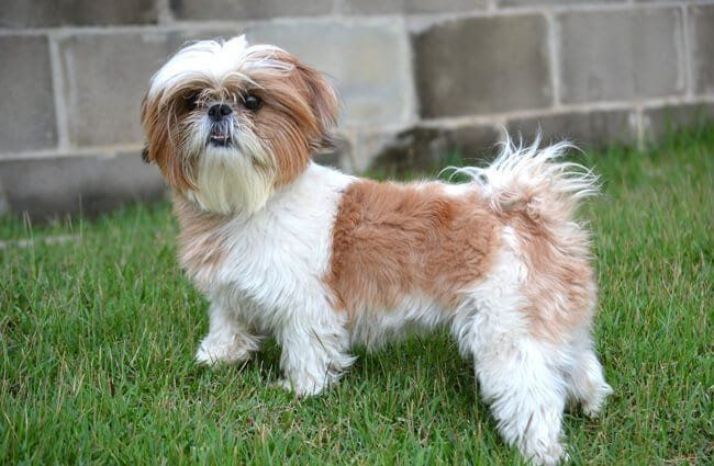 Shih Tzu Description Energy Level Health Image And Imperial Shih Tzu Standard Weight Range For The Breed Impe In 2020 Shih Tzu Puppy Bear Dog Breed Imperial Shih Tzu