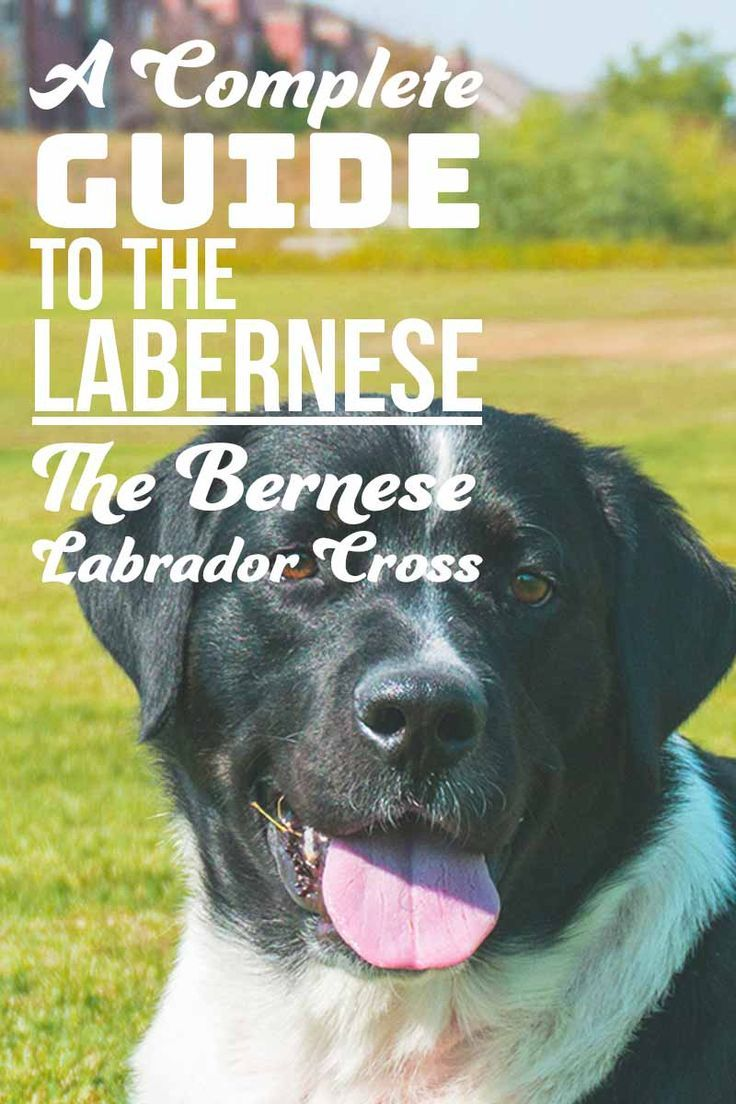 Labernese Information Center The Bernese Mountain Dog Lab Mix