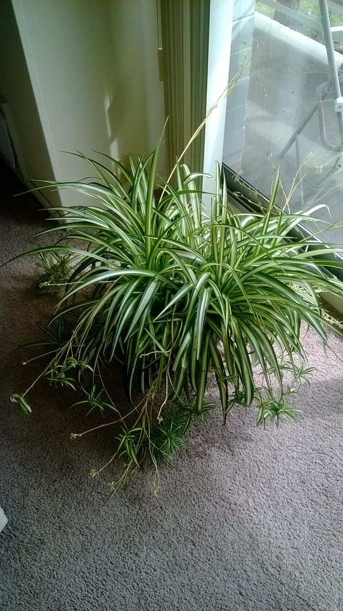 Spider plants (Chlorophytum comosum) are sometimes also called Airplane plants. Spider plants form arching clumps of grass-like leaves and they get their common names from the baby plantlets that form on dangling stems. Spider plants also...