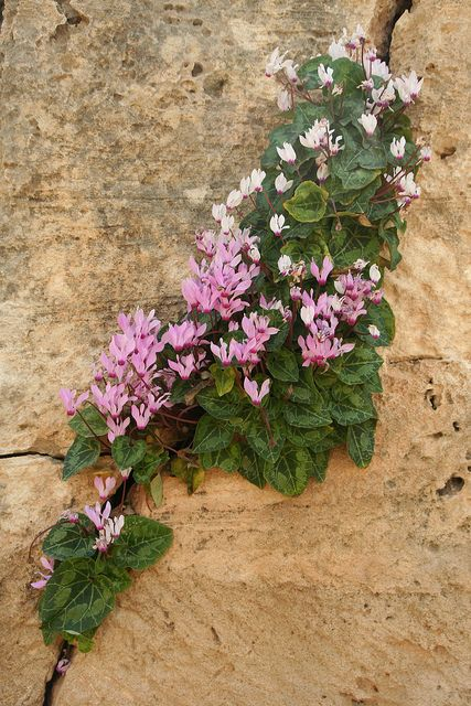 Cyclamen persicum, Tombs of the Kings, Paphos, Cyprus, 17th March 2013 by Wildlife Travel, via Flickr