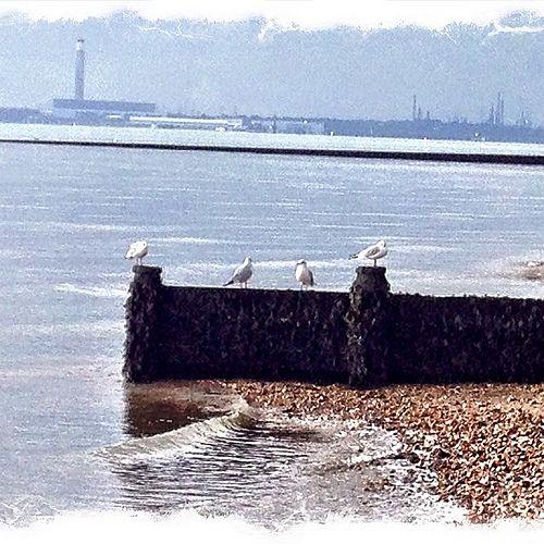 1395397_10152007235847534_655638433_nKeeping Guard #seagull #beach #hillhead #birds #water #fawley #groyne #sea #nofilter #nature