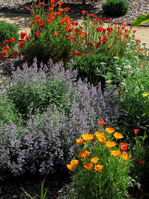 Idea for bed around bird feeder in front--poppies & catmint