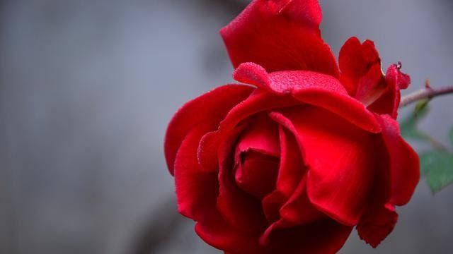 Terbaru 23 Lukisan Setangkai Bunga Mawar Merah 6 Ciri Ciri Bunga Mawar Jenis Dan Maknanya Yang Jarang Jual Setangkai Bunga Di 2020 Mawar Cantik Menanam Bunga Bunga