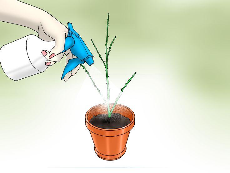 Grow Long Stem Roses at Home | Pruning roses, Magnesium ...