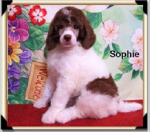 Parti Standard Poodle Puppies   Smith Standard Poodles