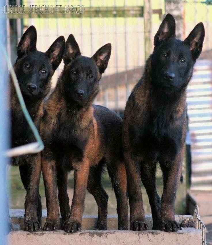 Belgian Shepherd - Malinois
