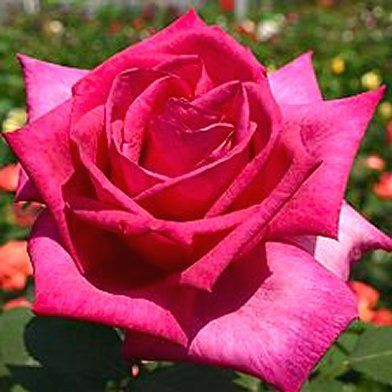 """Buxom Beauty"" - Hybrid tea rose bred by W. Kordes & Sons (Germany, 1991) and  Introduced in United Kingdom by Mattocks Roses in 2001.  Deep pink with up to 50 petals and a strong, fruity fragrance."
