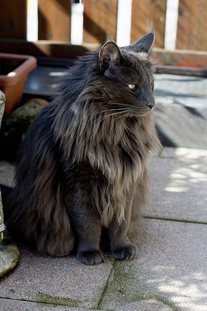 このNorvegian Forest Catはかっこいい