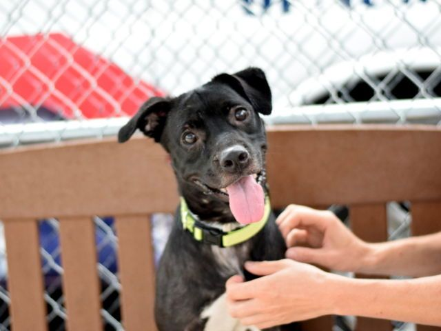 RETURNED 10/12/16 PETS CONFL!! SUPER URGENT BROOKLYN CENTER SAFE 8/2/16 Brooklyn Center BRIGHT EYES – A1080997 FEMALE, BLACK, BORDER COLLIE / AM PIT BULL TER, 1 yr OWNER SUR – STRAY WAIT, NO HOLD Reason STRAY Intake condition EXAM REQ Intake Date 07/12/2016, From NY 11212, DueOut Date07/15/2016