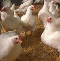 Why poultry might be a suitable enterprise for persons with disabilities