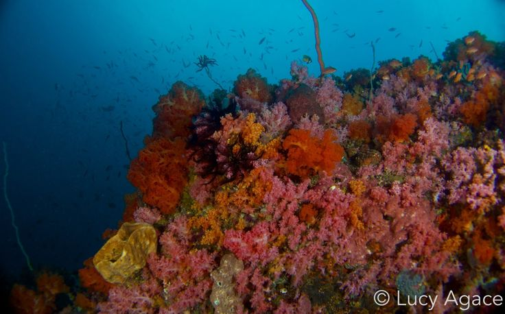 Beautiful soft corals and wide angle at Lembeh Strait.  Photo by Lucy Agace #diving #lembeh #uderwaterphotography