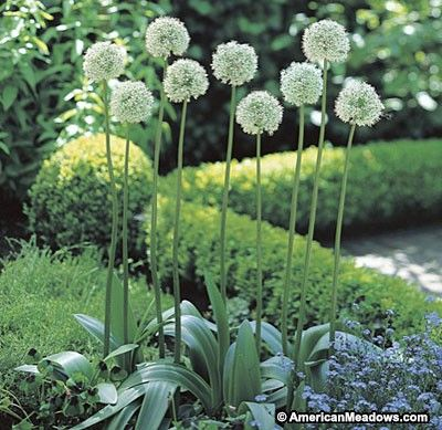 """This Allium towers in the garden, reaching heights up to 40"""" tall. Its pure white blooms are elegant and deer resistant. (Allium stipitatum)"""