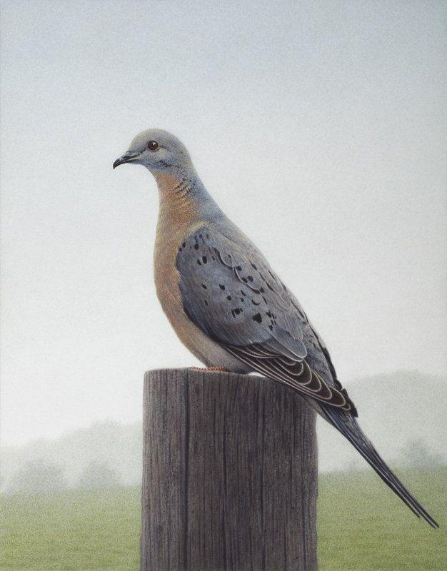 Bild einer Wandertaube - Picture of a Passenger Pigeon - 2012 by Quint Buchholz