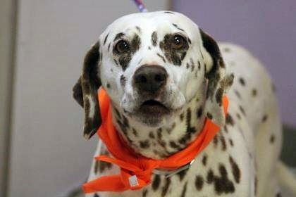 NAME: Pippi  ANIMAL ID: 24688399  BREED: Dalmatian  SEX: female  EST. AGE: 14 yr  Est Weight: 53 lbs  Health: heartworm pos  Temperament: dog friendly, people friendly  ADDITIONAL INFO: RESCUE PULL FEE: $49