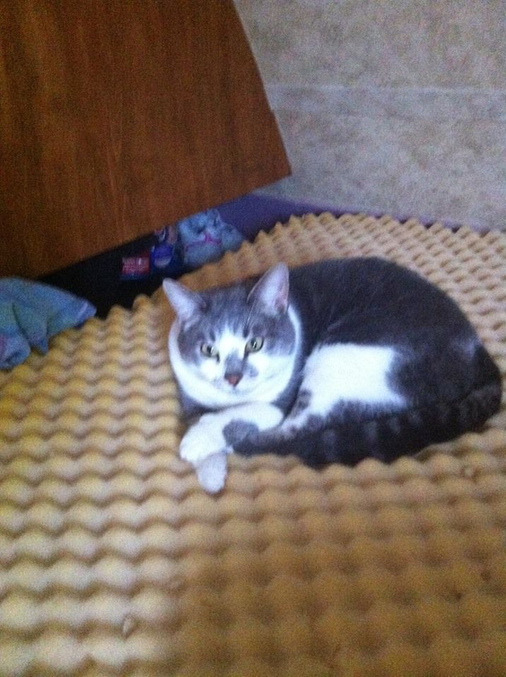 Missing our family cat! Lost June18 2013 around Peace Auto Electric and Pizza Hut. She is white and grey. And rather a tad on the big side. She is 10yrs old and answers to the name of kewkie. Please we want her back home safe. If anybody spots or can get her please call me right away at 780-897-0191. It will at least help me to find a area to search she is quite shy and not a people person and will keep to her self.