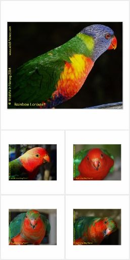 Wildlife Posters featuring photos of various Australian wildlife that can be found on the Gold Coast in Queensland, #kangaroo #easterngreykangaroo #marsupial #bear #poster #wildlife #australianwildlife #zazzle #parrot #kingparrot #koalabear #koala #rainbowlorikeet #lorikeet #galah #bengaltiger #kookaburra #poster Click on photo to view item then click on item to see how to purchase that item.