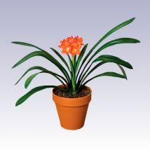 Kafferliliom, Clivia 30 cm magas 15cs