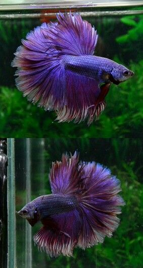 808 Purple rosetail HM male