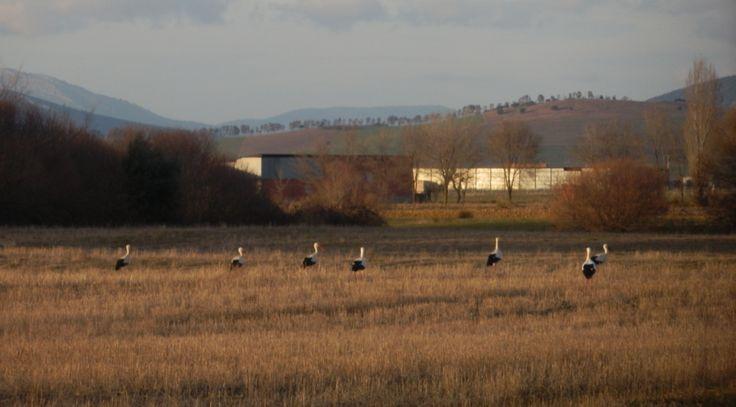 Cigueña Blanca (Ciconia Ciconia) mayoritariamente migradoras pasa el invierno en área subsahariana