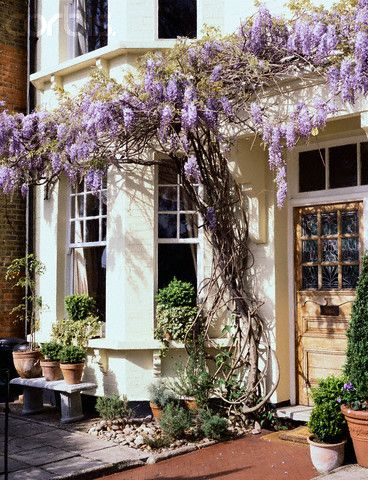 Beautiful floral house front. Wisteria vine.