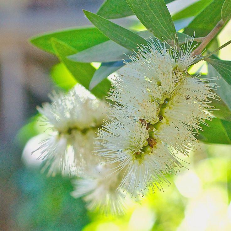 Melaleuca quinquenervia. A Myrtraceae.  Paperbark Tea Tree.  Bar Point Central Coast NSW May'15